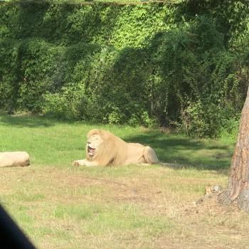 Löwe ?
