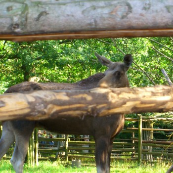 Schüchterner Elch