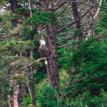 Weißkopfseeadler in Kanada