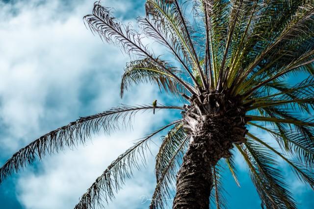 Karibischer Kanarienvogel