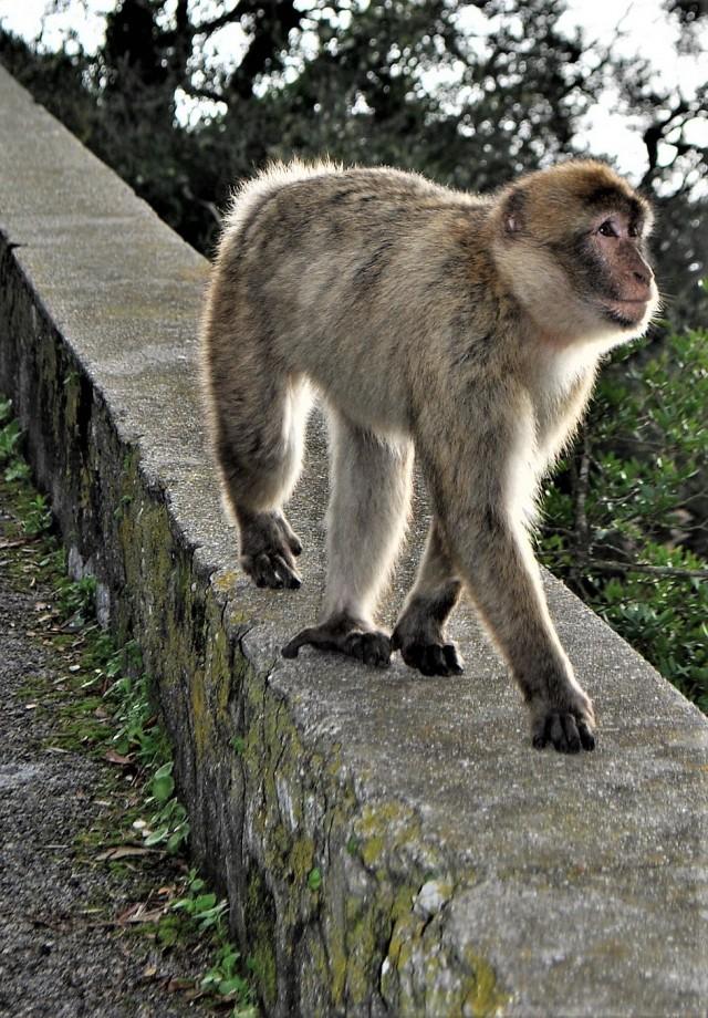 Affe auf dem Upper Rock