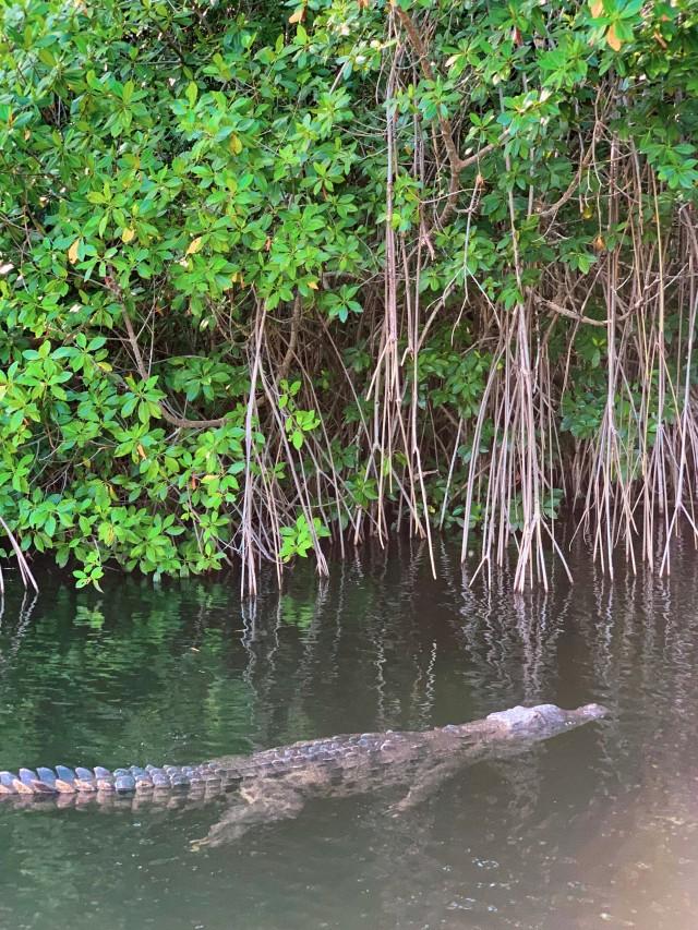 Ein Aligator im Black River