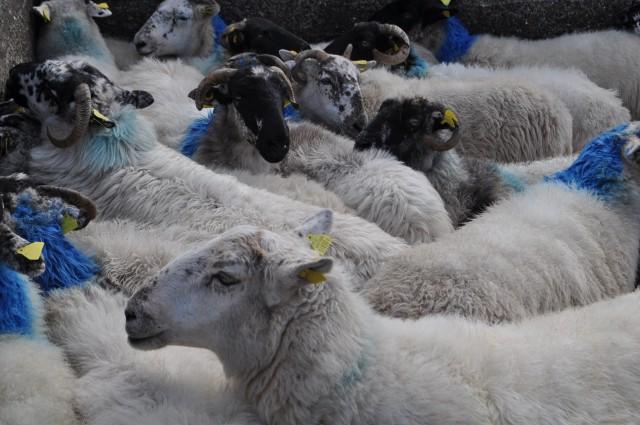 Schafe auf der Halbinsel Dingle