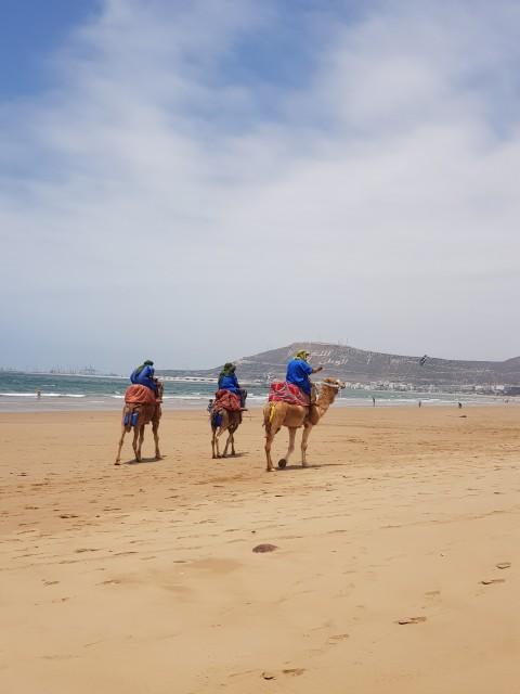 Kamele am Strand von Agadir
