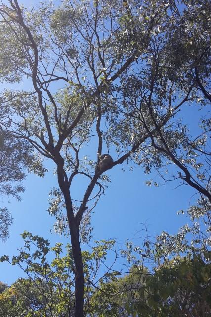 Auf der Suche nach Koalas