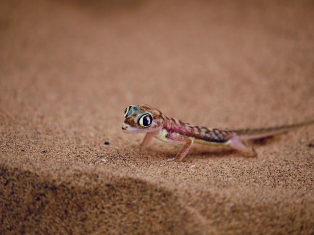 Little 5 - Palmatogecko