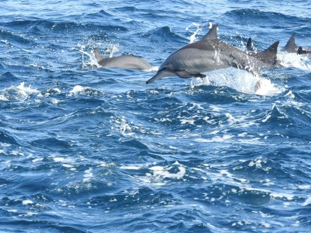 Delfine im Oman