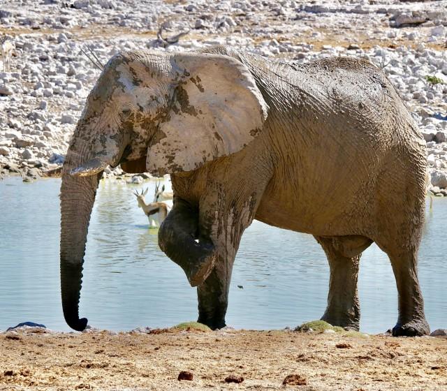 Etosha Nationalpark - Elefant