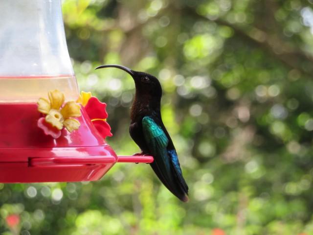 Kolibri im Jardin de Balata