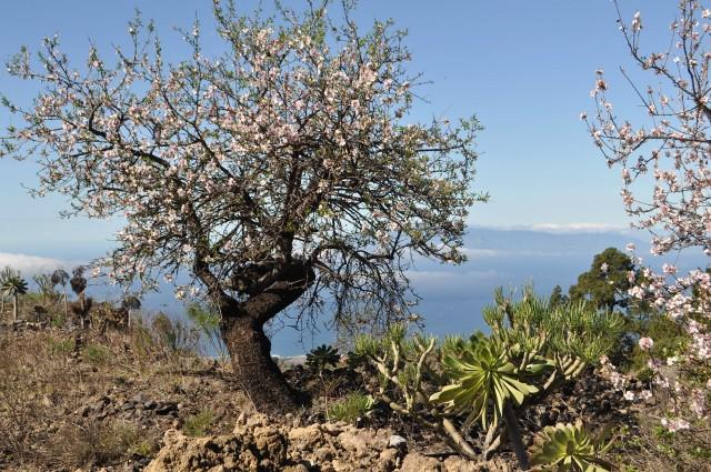 Mandelbäume im Süden von Teneriffa