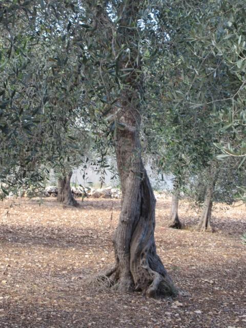 Zwischenstopp im Olivienhain