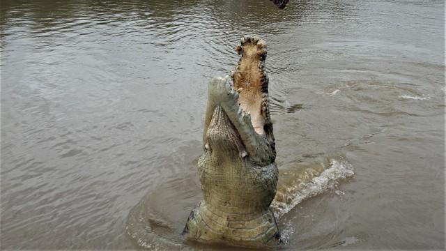 Sprigende Krokodile