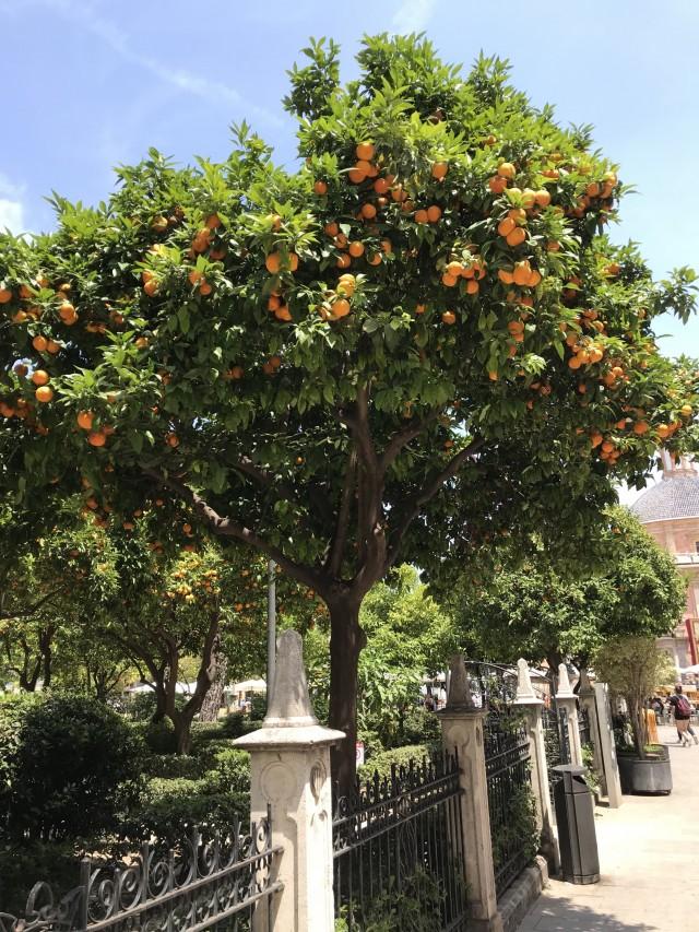 Orangenbaum in Valencia