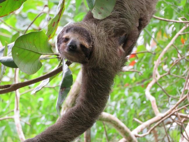 Auf Tuchfühlung mit Costa Ricas Faultieren