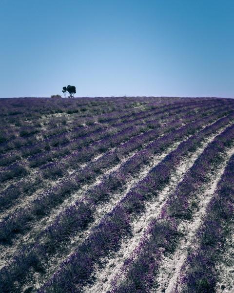 Lavendelfeld in der Toskana