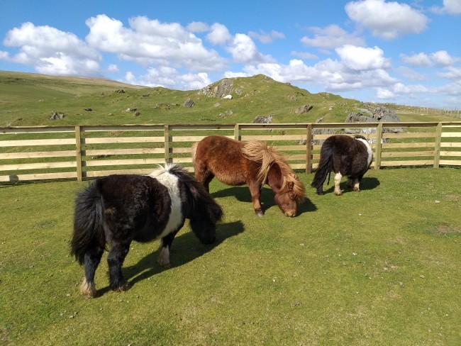 Shetland und seine Ponys