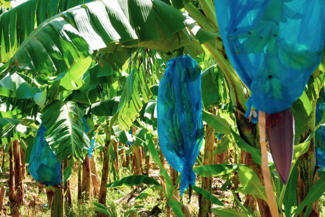 Bananenplantage auf St. Lucia